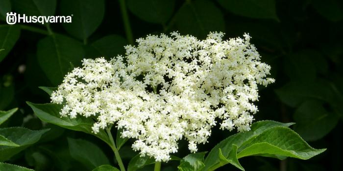 Flor sambucus nigra