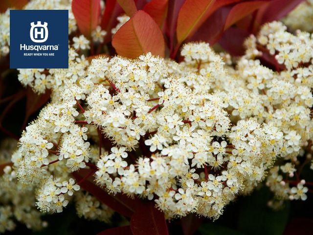flores-de-photinia