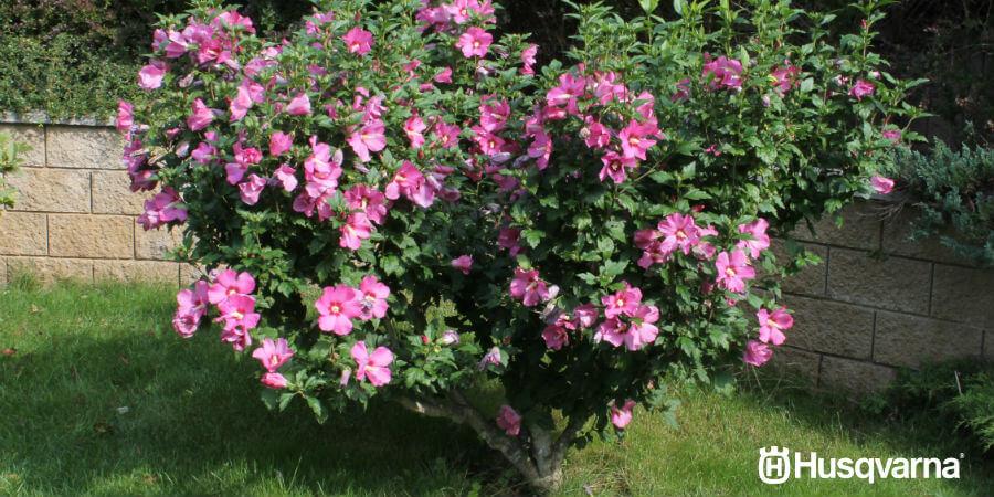 Aprende a cultivar Hibiscus syriacus, el arbusto de preciosas flores.