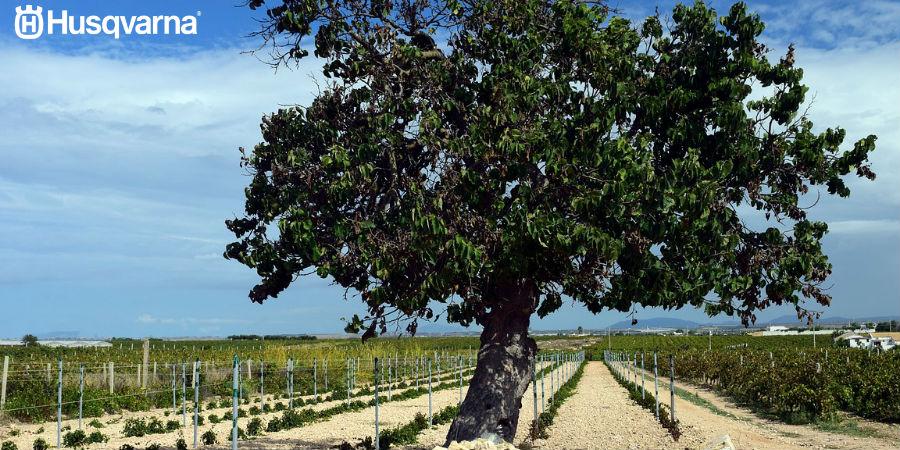 Morus alba, el árbol de los gusanos de seda