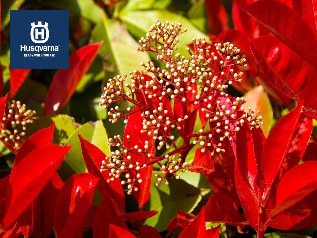 photinia-floración