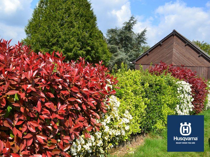 Decora tu jardín con Photinia, el arbusto rojo perfecto para formar setos