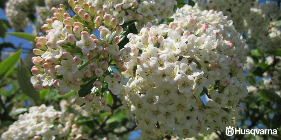 Viburnum tinus, o como un arbusto se puede convertir en el protagonista de tu jardín