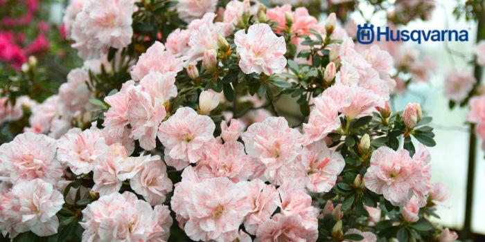 Flor de la azalea