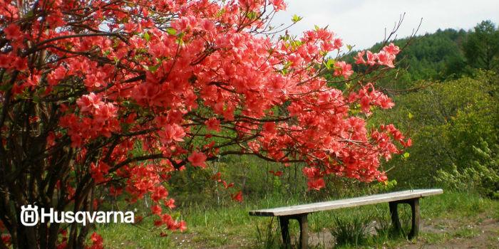 arbusto azalea