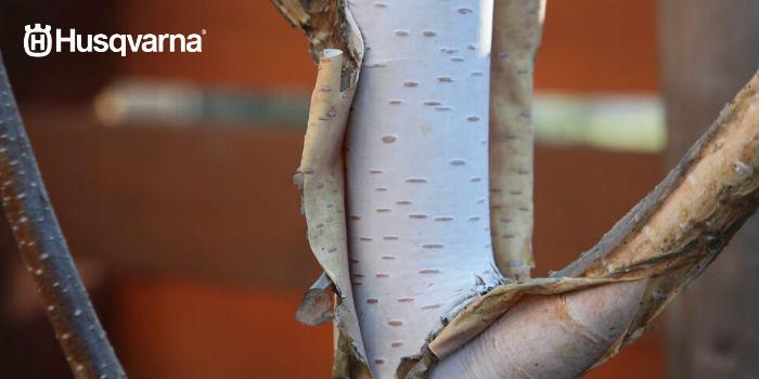 corteza betula pendula