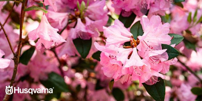 flor-azalea