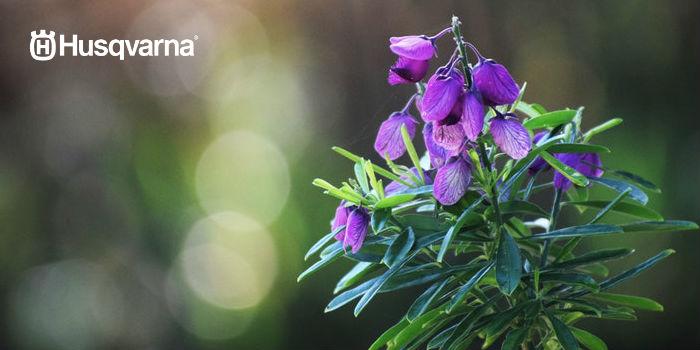 flor polígala