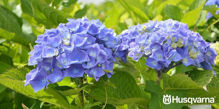 hortensias-azules