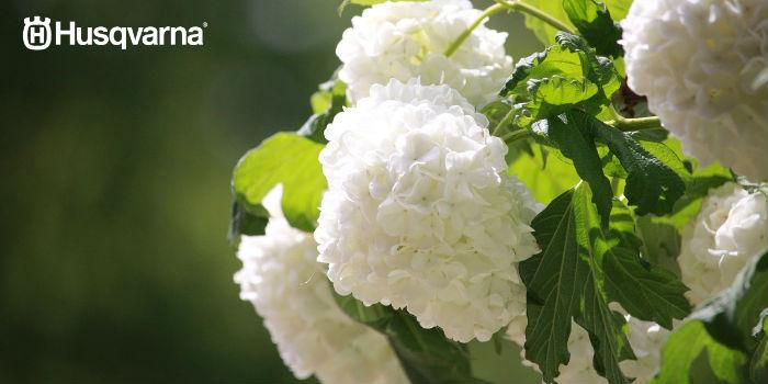 hortensias-blancas