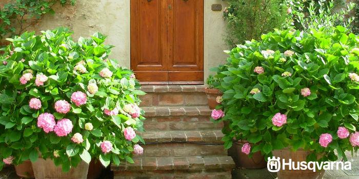 hortensias-macetas