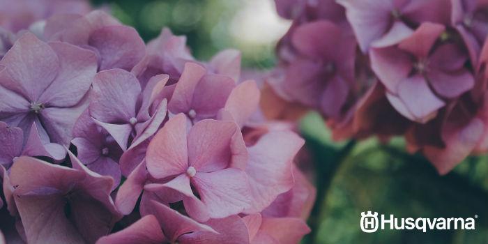hortensias-violetas