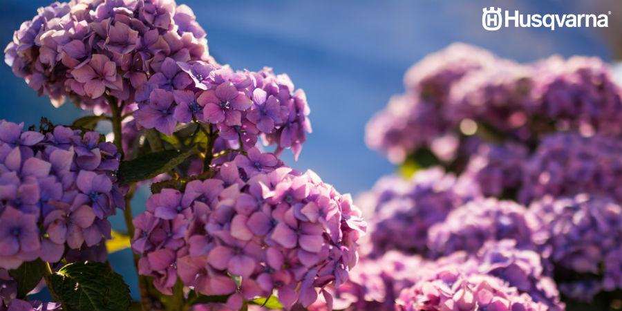 Cómo podar hortensias: Todo lo que necesitas saber de este proceso