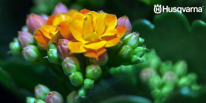 kalanchoe-flor