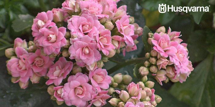 kalanchoe-flores-rosas
