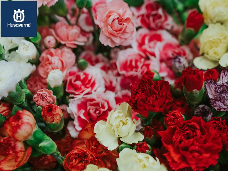 Si buscas una planta con flor, perfumada y de sencillo mantenimiento, quédate con el clavel