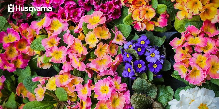¿Quieres un jardín colorido? Planta una prímula