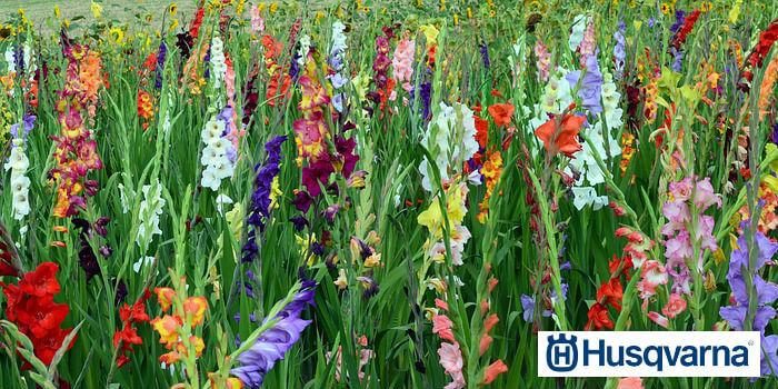 cultivar-de-gladiolos