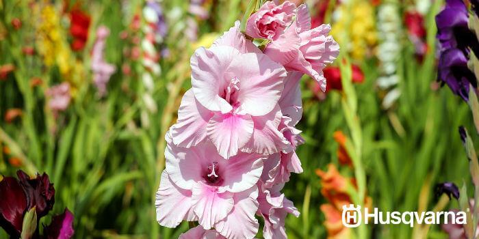 gladiolo-rosa