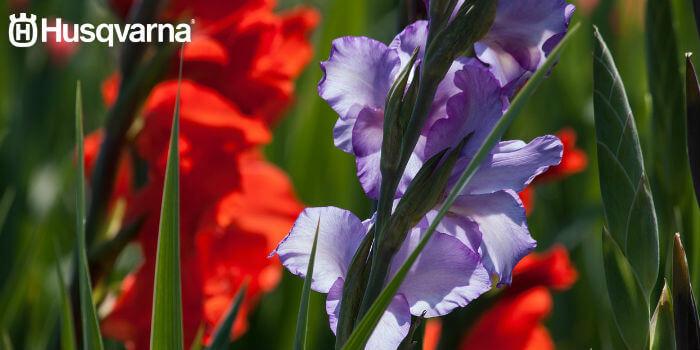 gladiolo-violeta