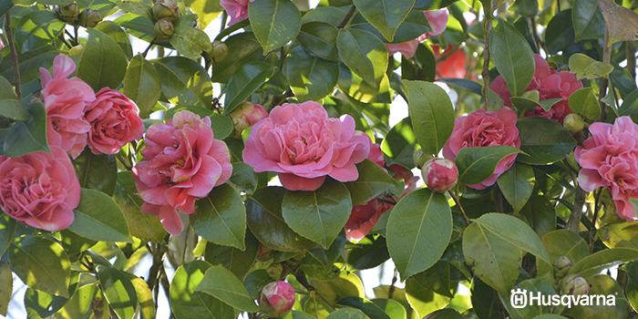 arbustos-con-flores-camelia
