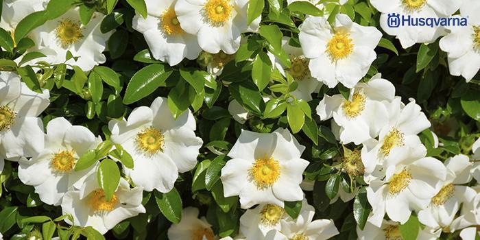 arbustos con flores-gardenia