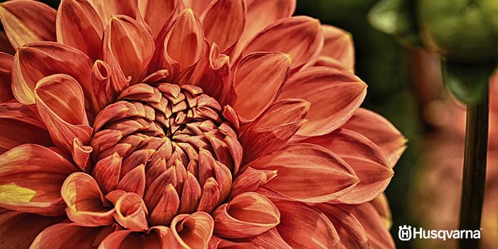 Dalia, la bella flor multicolor