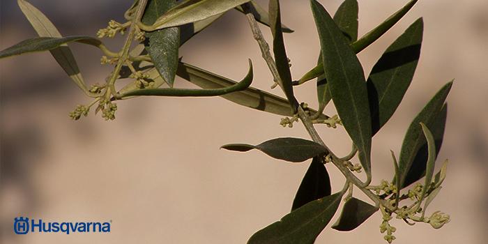 enfermedades-del-olivo-causas