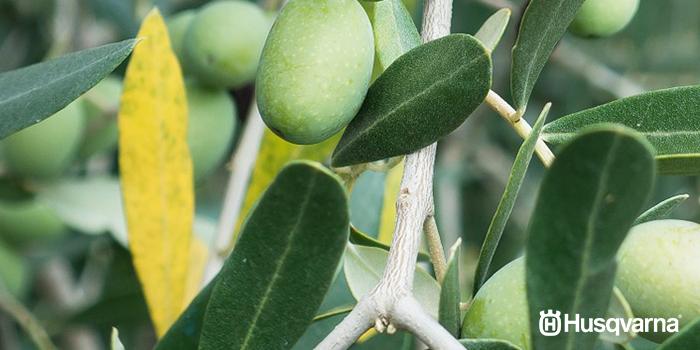 enfermedades-del-olivo-repilo