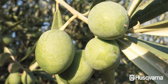 enfermedades-del-olivo-negrilla