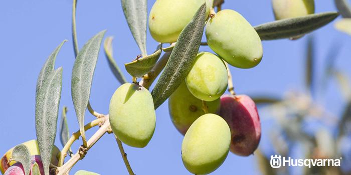 enfermedades-del-olivo-lepra