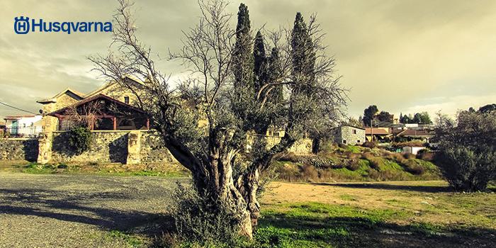 Enfermedades del olivo. Descubre las 5 más comunes