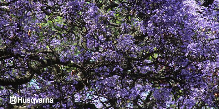 jacaranda-arbol-caduco