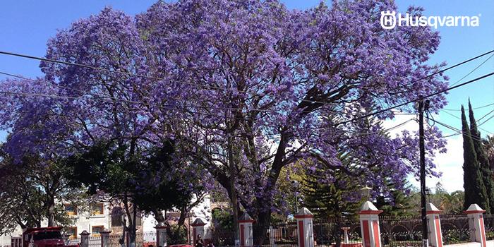 jacaranda-árbol-morado