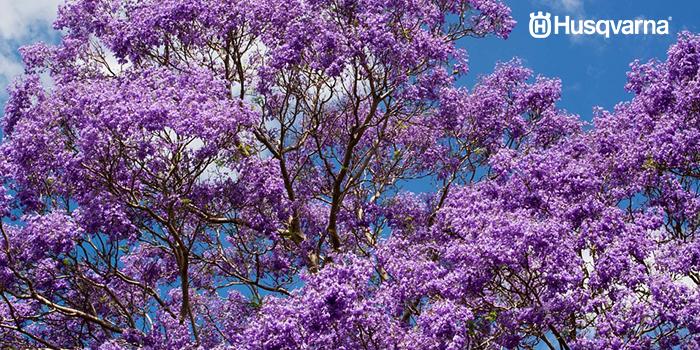 jacaranda-floración