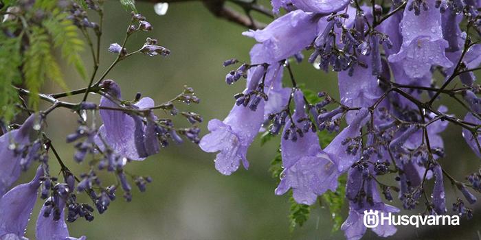 jacaranda-flores