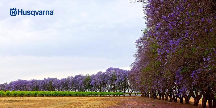 Enamórate de la jacaranda, el árbol de hojas grisáceas y floración morada