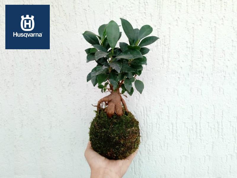 Ficus ginseng, el pequeño gran árbol