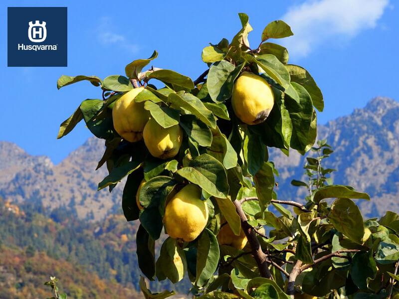 El árbol del membrillo, más que un simple arbusto frutal