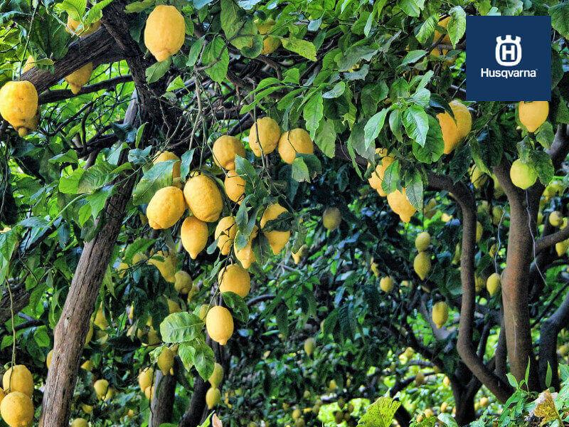 Cómo podar un limonero: Todo lo que debes saber