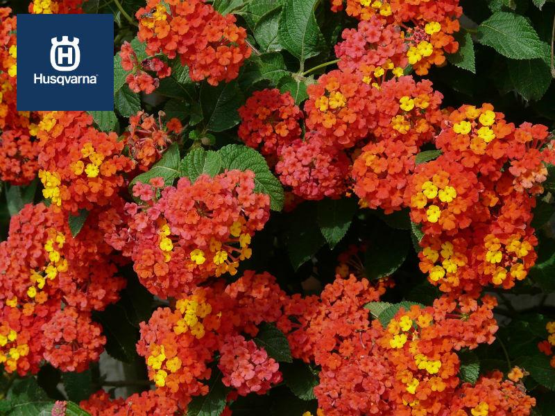 Lantana, la planta cuyas flores cambian de color