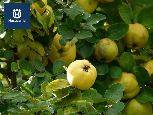arbol-del-membrillo-hojas