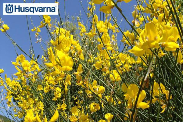 retama-flor-amarilla