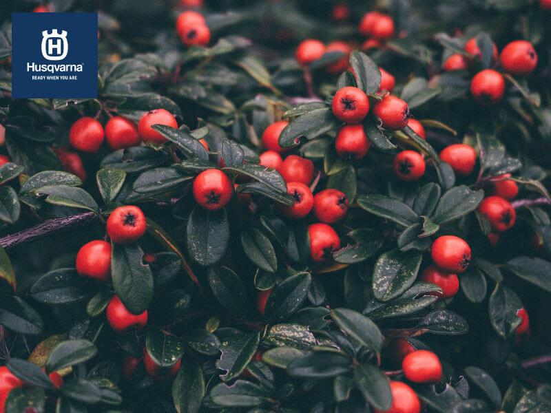 Descubre el cotoneaster y cuáles son sus cuidados