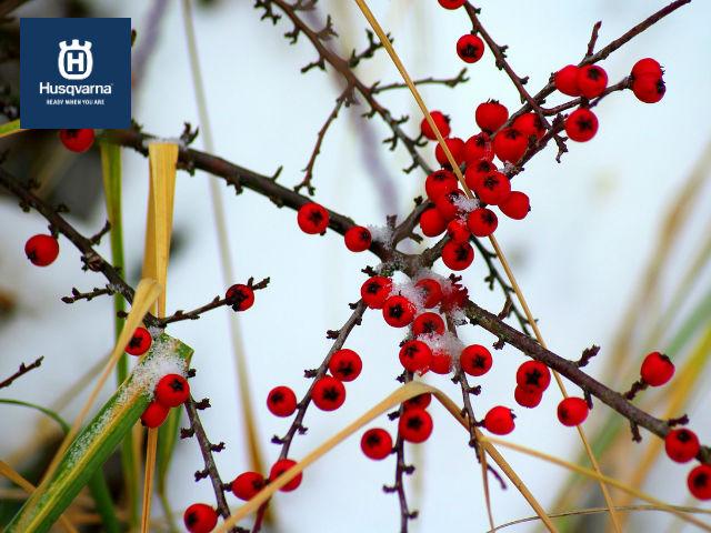 cotoneaster-invierno