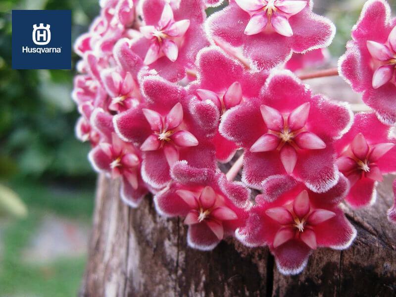 Flor de cera: singular, rara y de gran belleza
