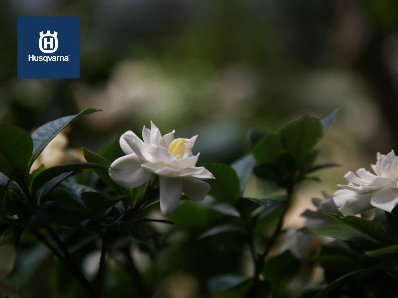 ¿Cuáles son los cuidados que requiere la gardenia?