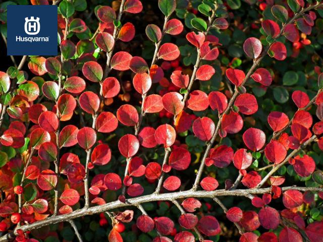 hojas-cotoneaster