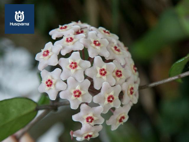 hoya-carnosa-flores