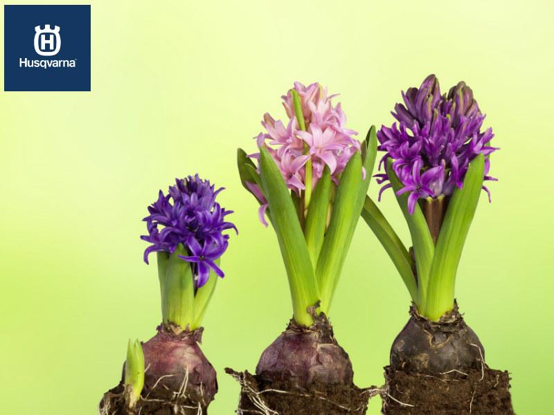Jacintos, las plantas de constante floración